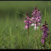 orchis_male